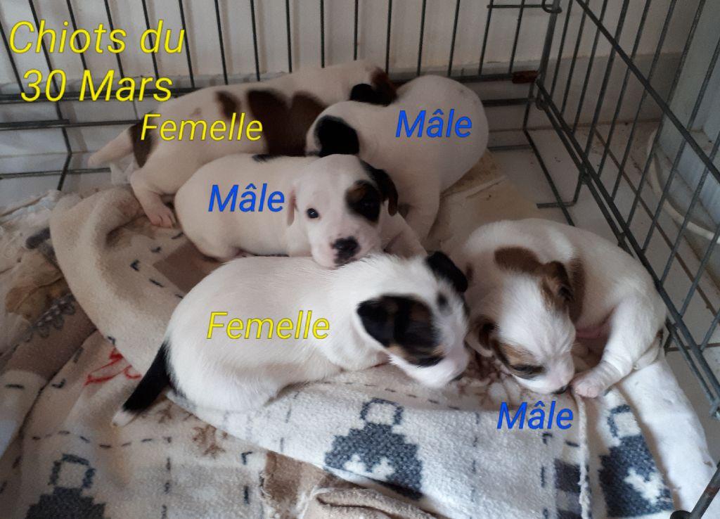 Du champ de l'ormeau - Jack Russell Terrier - Portée née le 30/03/2018