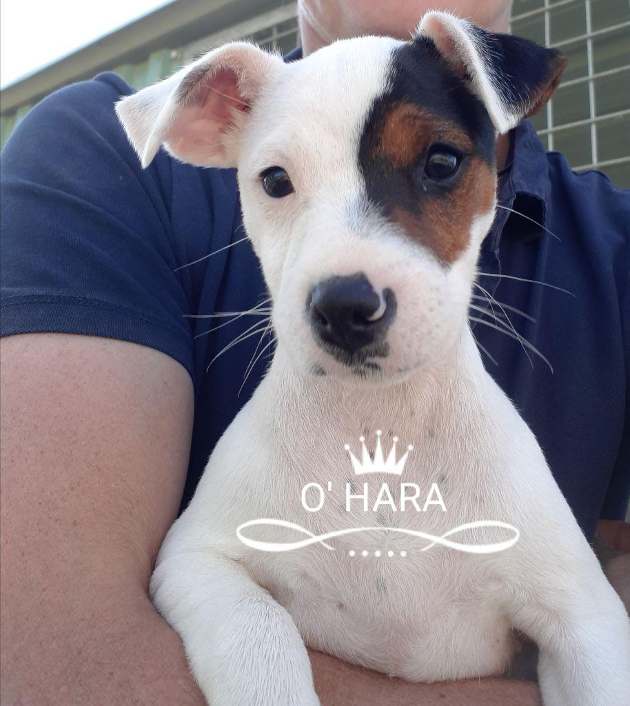 Du champ de l'ormeau - Jack Russell Terrier - Portée née le 16/01/2018
