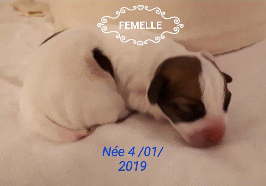 Du champ de l'ormeau - Jack Russell Terrier - Portée née le 04/01/2019