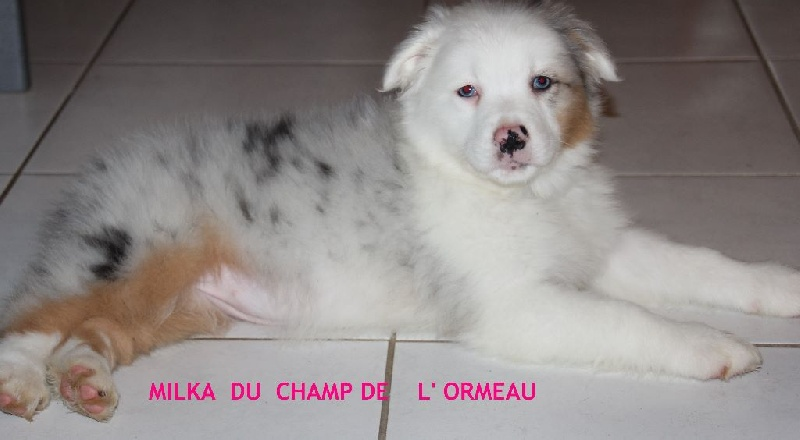Du champ de l'ormeau - Chiot disponible  - Berger Australien