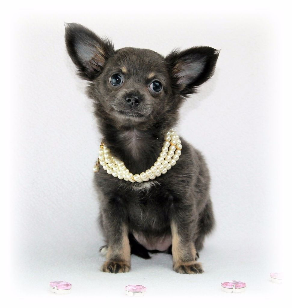Mila - Chihuahua