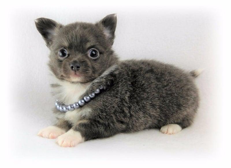 Modjo  - Chihuahua