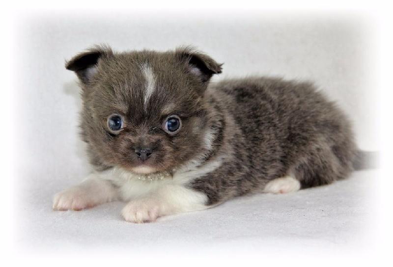 Mohair - Chihuahua