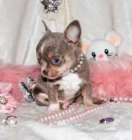 Du Royaume D'exquise - Chihuahua - Portée née le 01/08/2018