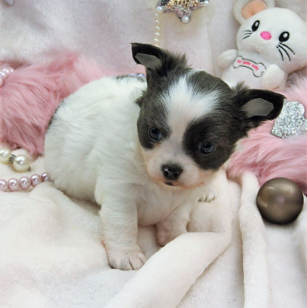 Du Royaume D'exquise - Chiot disponible  - Chihuahua