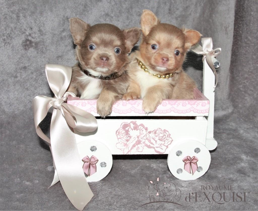 Du Royaume D'exquise - Chihuahua - Portée née le 16/01/2020