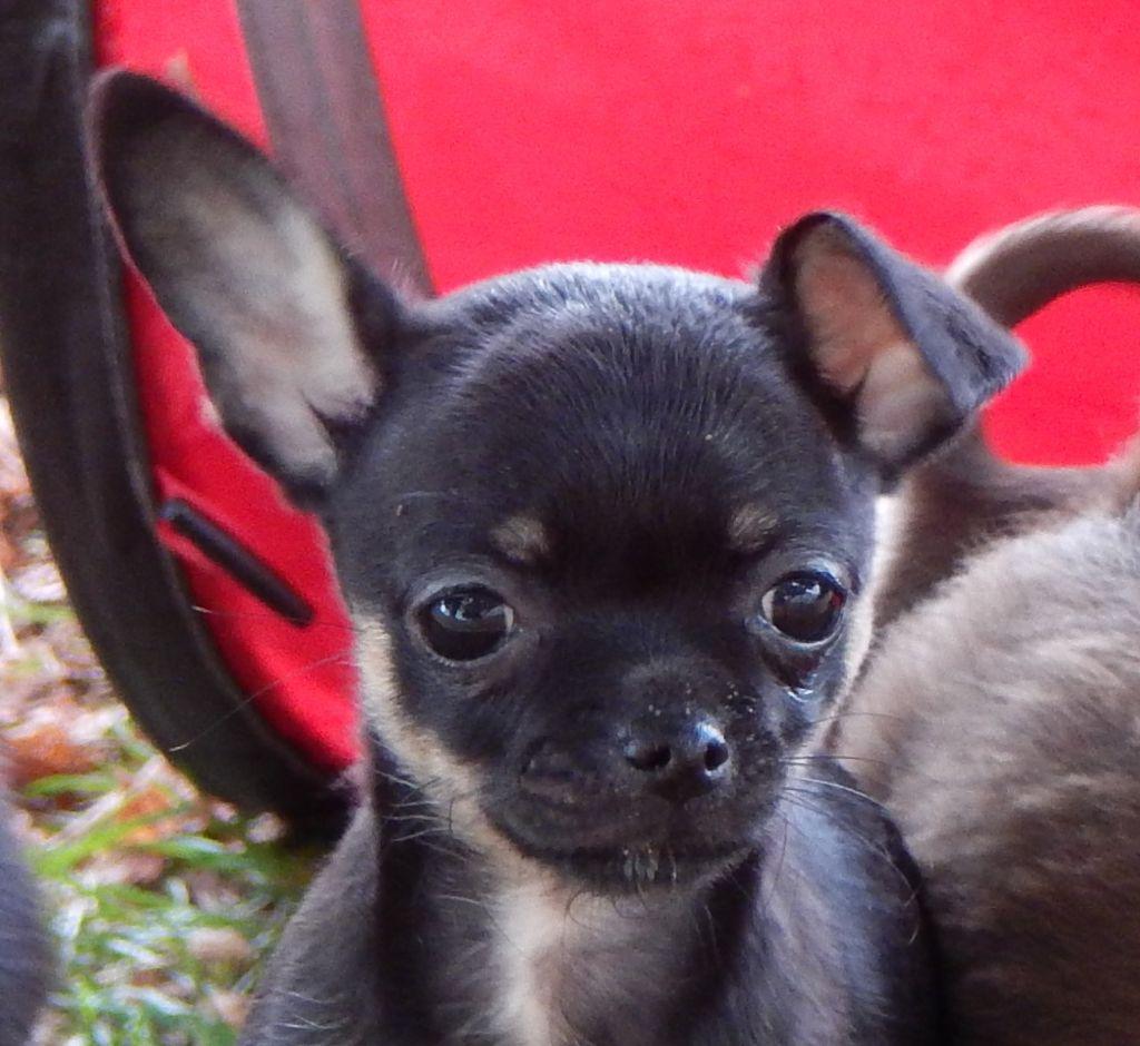 Des Copains D'aldo - Chiot disponible  - Chihuahua