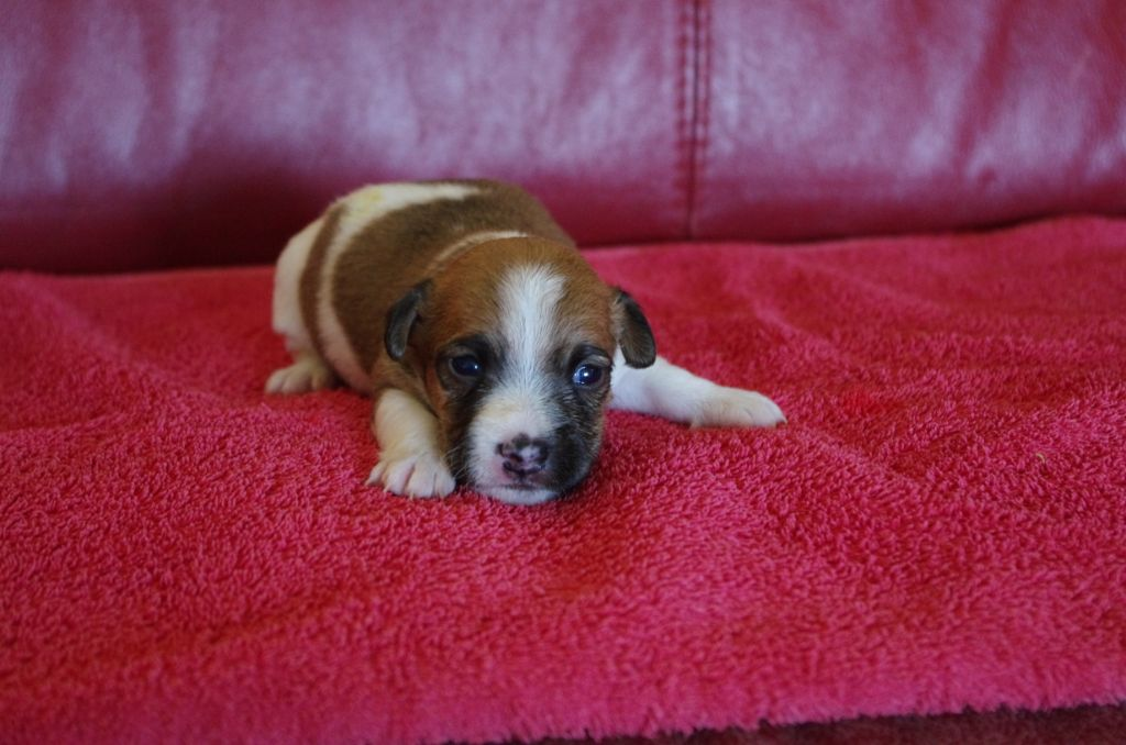 a l'ouest des prés de l'abby - Chiot disponible  - Jack Russell Terrier