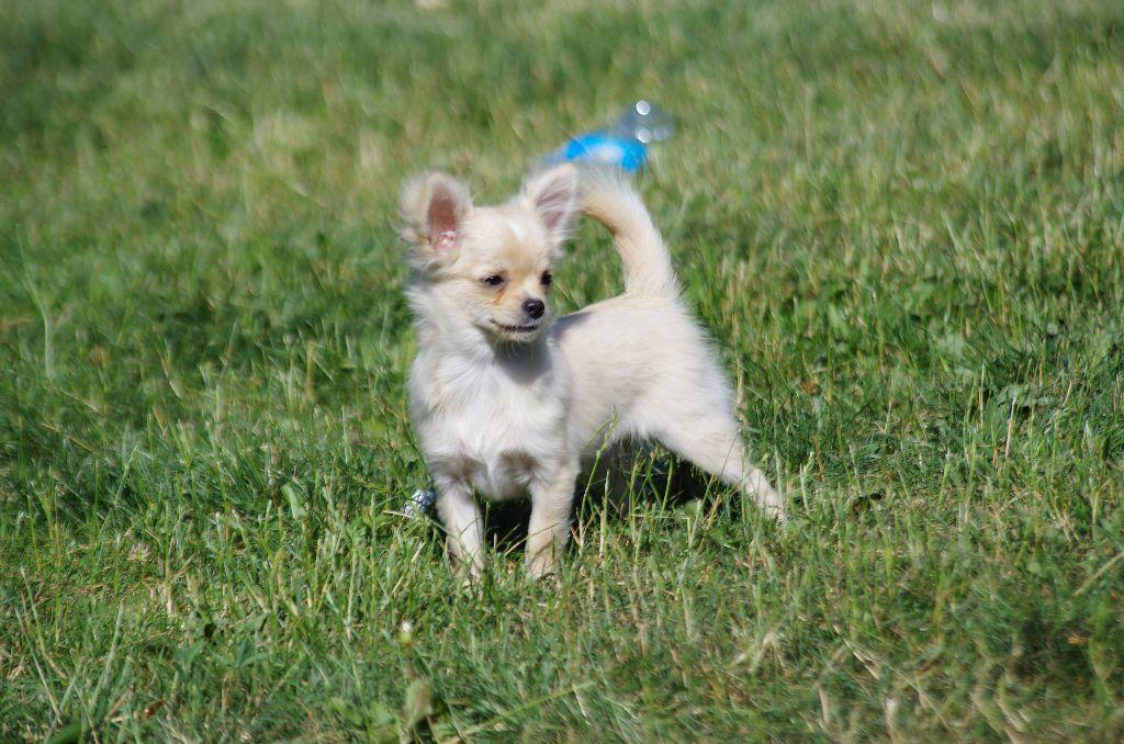 a l'ouest des prés de l'abby - Chiot disponible  - Chihuahua