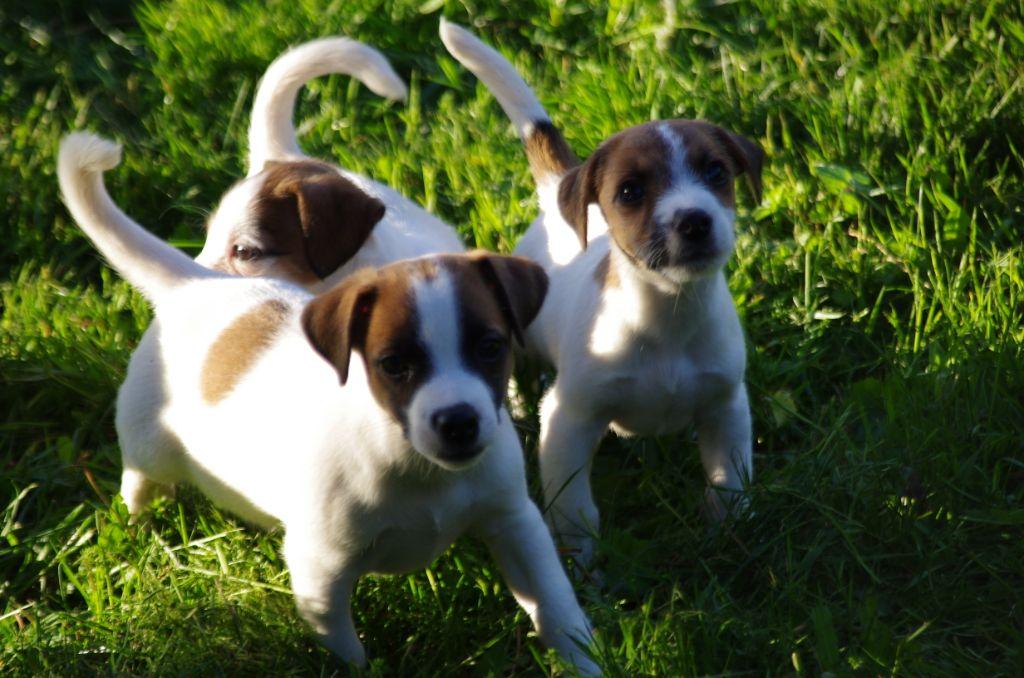 chiot Jack Russell Terrier a l'ouest des prés de l'abby