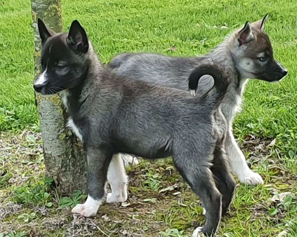 to riders of free spirit - Chiot disponible  - Siberian Husky