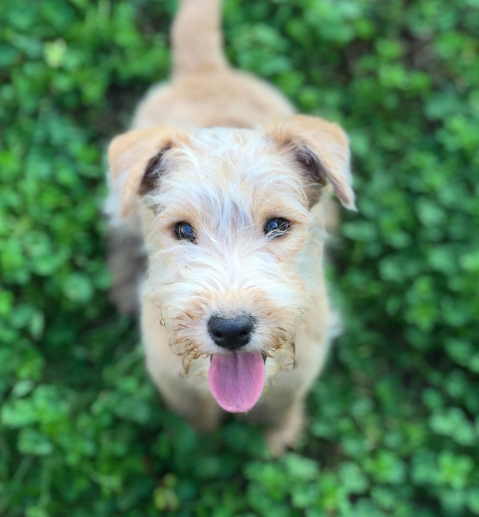 Slicey - Chiot disponible  - Lakeland Terrier