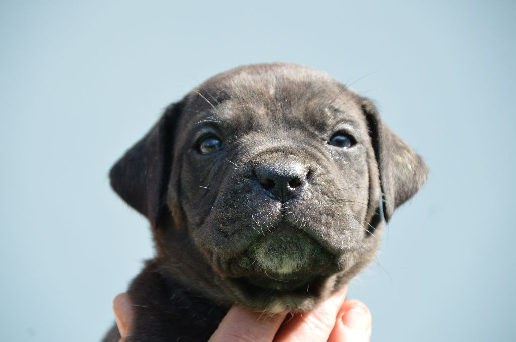 Guardiani di divani - Chiot disponible  - Cane Corso