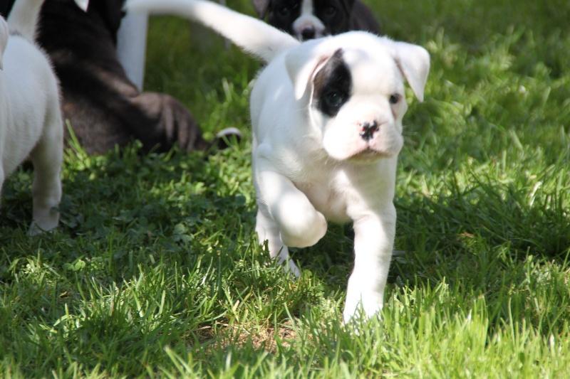 Chiot - Elevage De La Vallee D'ailly - eleveur de chiens Boxer