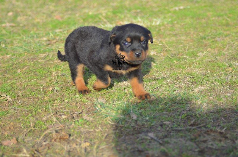 Du Royaume De Macanoclé - Chiot disponible  - Rottweiler