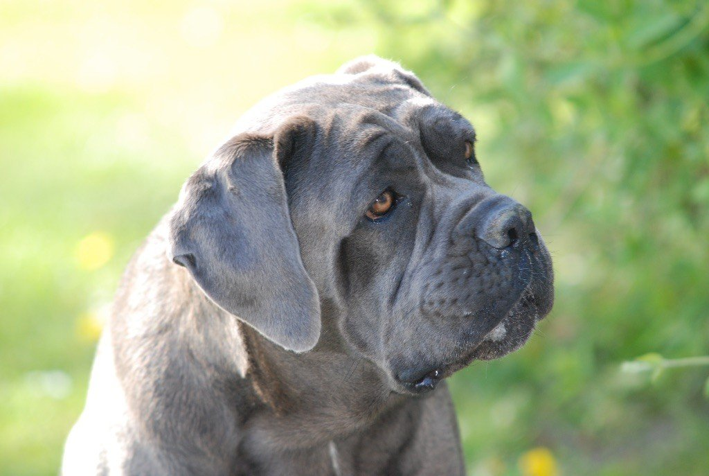 Photo Elevage De Malaga Eleveur De Chiens Cane Corso