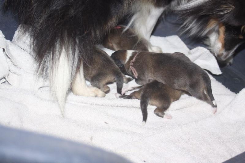 de Kardaillan - Chiot disponible  - Shetland Sheepdog