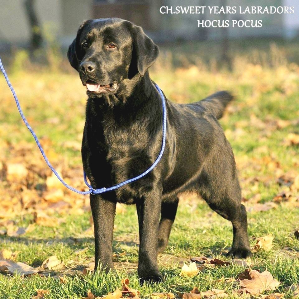 CH. sweet years labradors Hocus pocus