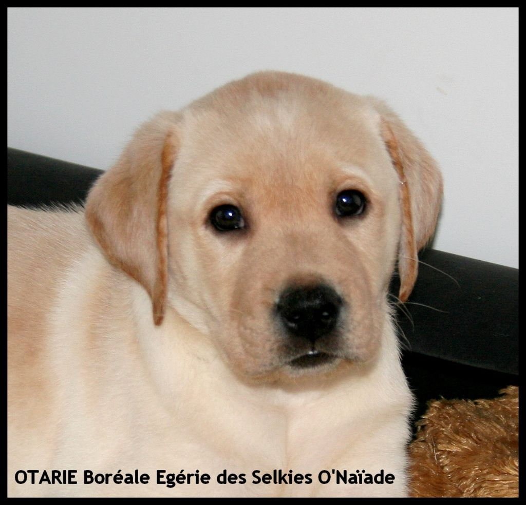 Otarie boréale egérie Des Selkies O'naïade