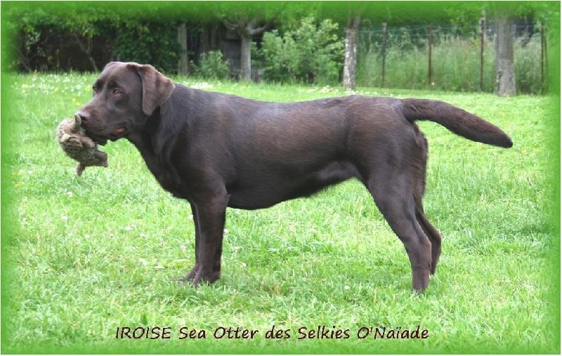 Iroise sea otter Des Selkies O'naïade