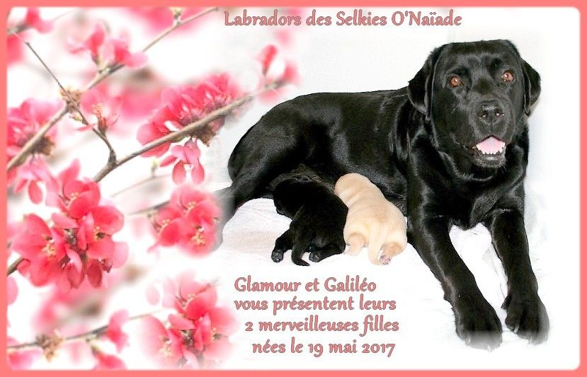 Des Selkies O'naïade - Labrador Retriever - Portée née le 19/05/2017