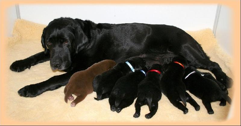 Des Selkies O'naïade - Labrador Retriever - Portée née le 19/09/2014
