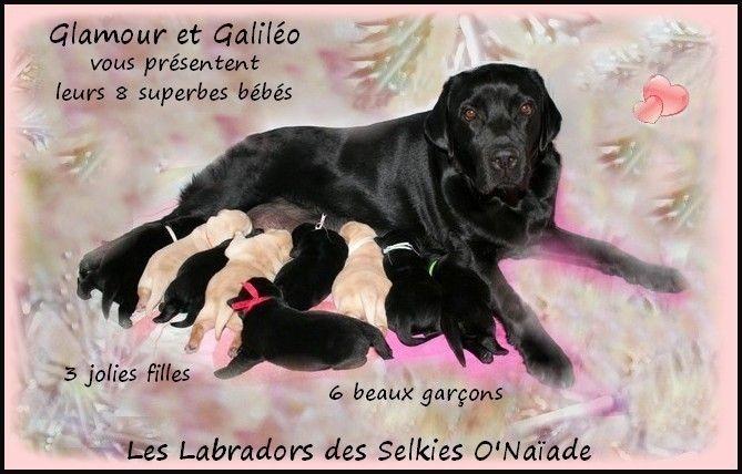 Des Selkies O'naïade - Labrador Retriever - Portée née le 22/01/2015