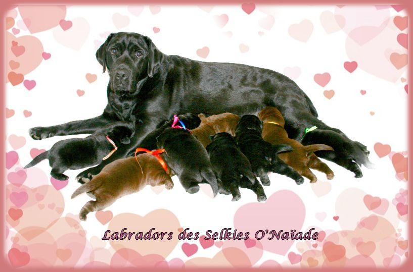 chiot Labrador Retriever Des Selkies O'naïade