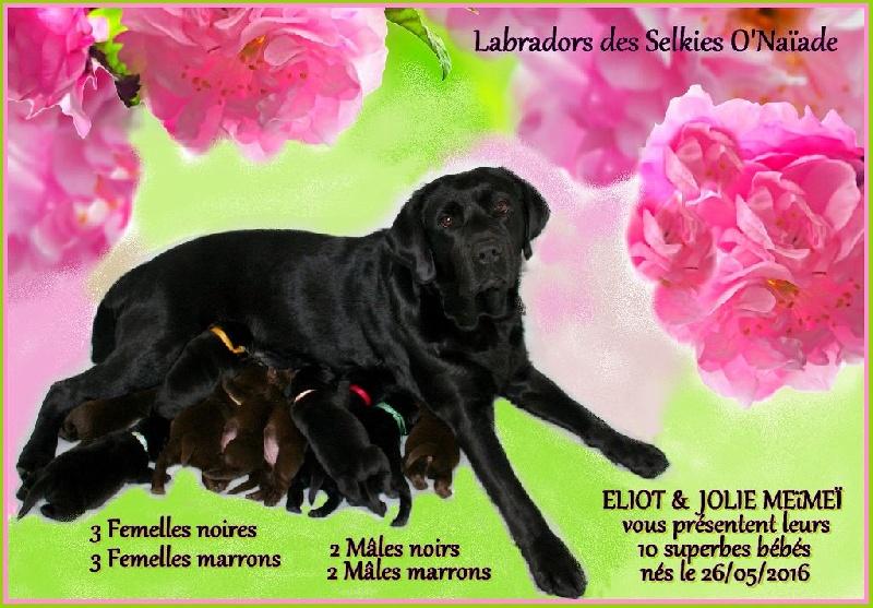 Des Selkies O'naïade - Labrador Retriever - Portée née le 26/05/2016