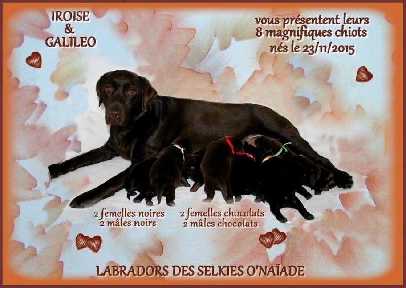 Des Selkies O'naïade - Labrador Retriever - Portée née le 23/11/2015