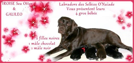 Des Selkies O'naïade - Labrador Retriever - Portée née le 14/03/2017