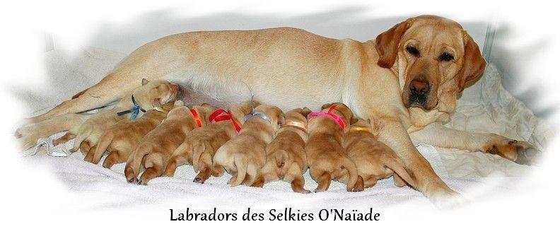 Des Selkies O'naïade - Labrador Retriever - Portée née le 15/11/2016
