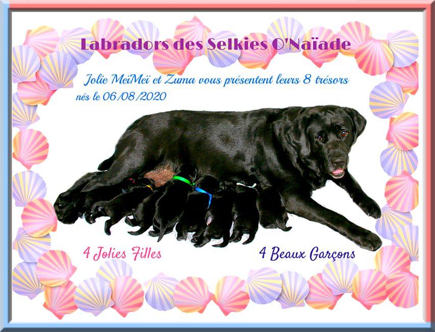 Des Selkies O'naïade - Labrador Retriever - Portée née le 06/08/2020