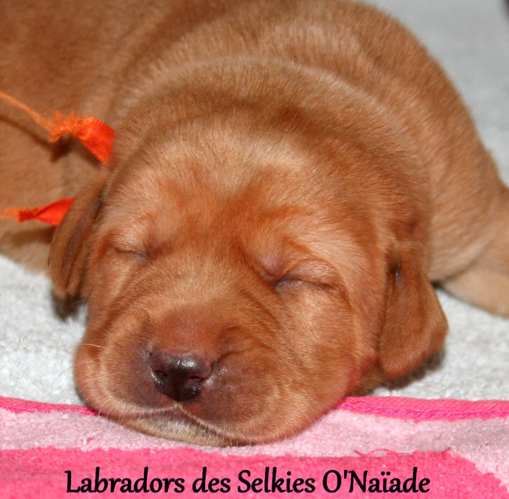 Des Selkies O'naïade - Chiot disponible  - Labrador Retriever