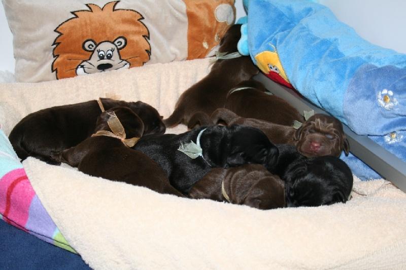Des Selkies O'naïade - Labrador Retriever - Portée née le 21/05/2011