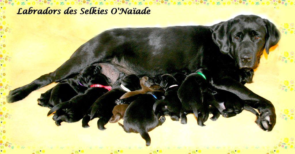 Des Selkies O'naïade - Labrador Retriever - Portée née le 24/07/2019