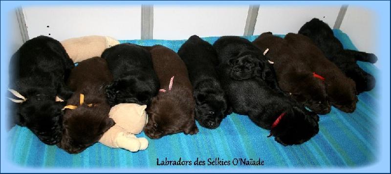 Des Selkies O'naïade - Labrador Retriever - Portée née le 22/03/2016