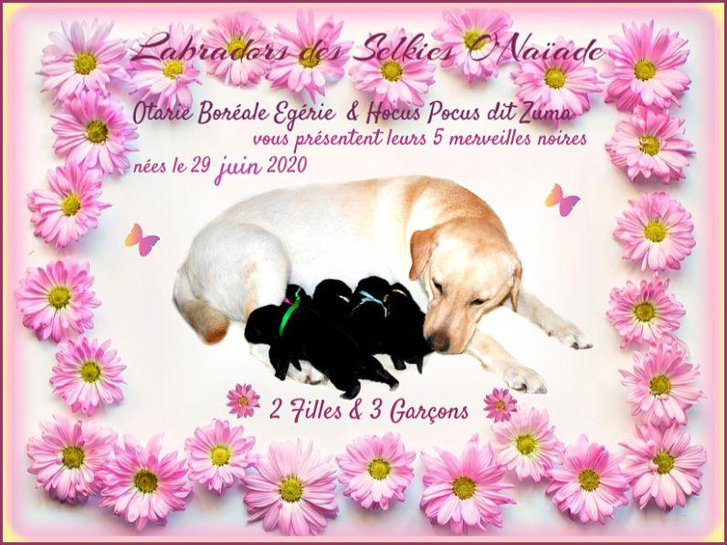 Des Selkies O'naïade - Labrador Retriever - Portée née le 29/06/2020