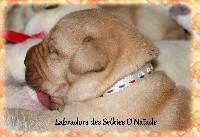 Des Selkies O'naïade - Labrador Retriever - Portée née le 27/01/2018