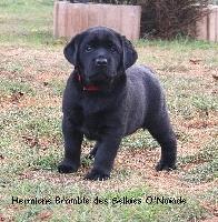 HERMIONE Bramble