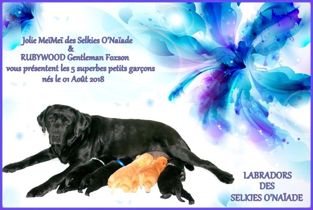 Des Selkies O'naïade - Labrador Retriever - Portée née le 01/08/2018