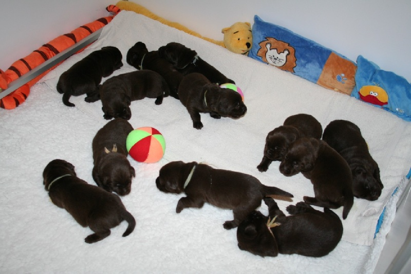 Des Selkies O'naïade - Labrador Retriever - Portée née le 25/01/2011