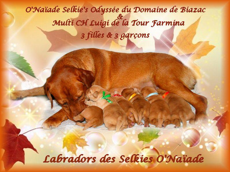 Des Selkies O'naïade - Labrador Retriever - Portée née le 24/11/2019
