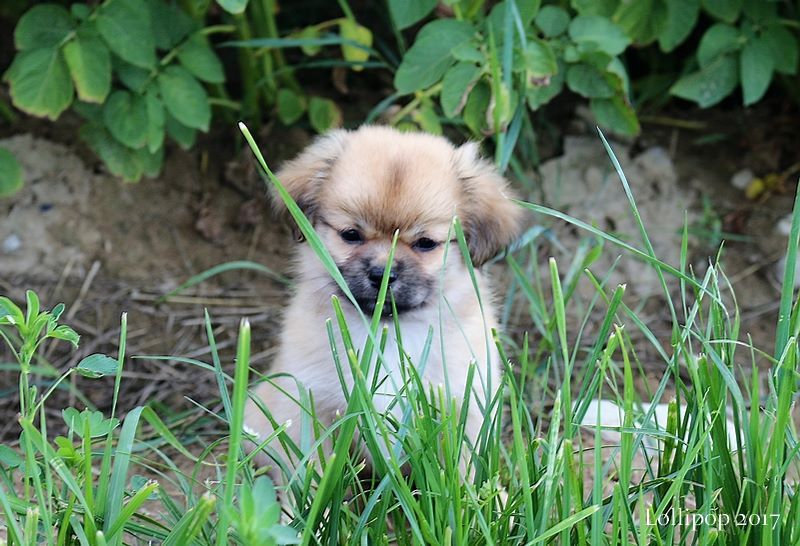 of lollipop - Chiot disponible  - Epagneul tibetain