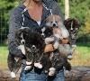 - Prochains chiots à l'élevage