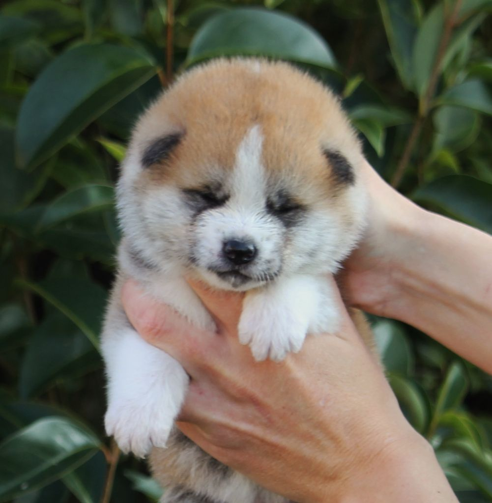Of Sara Hana Kensha - Chiot disponible  - Akita