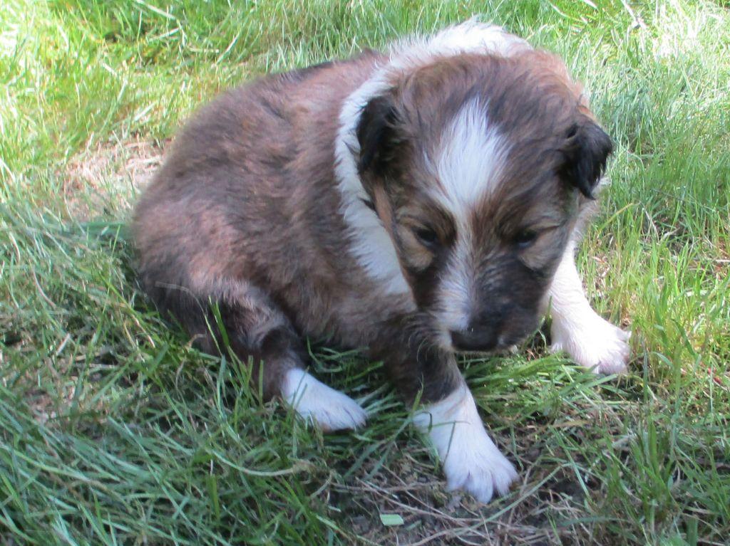 OCTAVIA PRINCESSE DU VAL DES DELICES DE CHIMENEO - Shetland Sheepdog