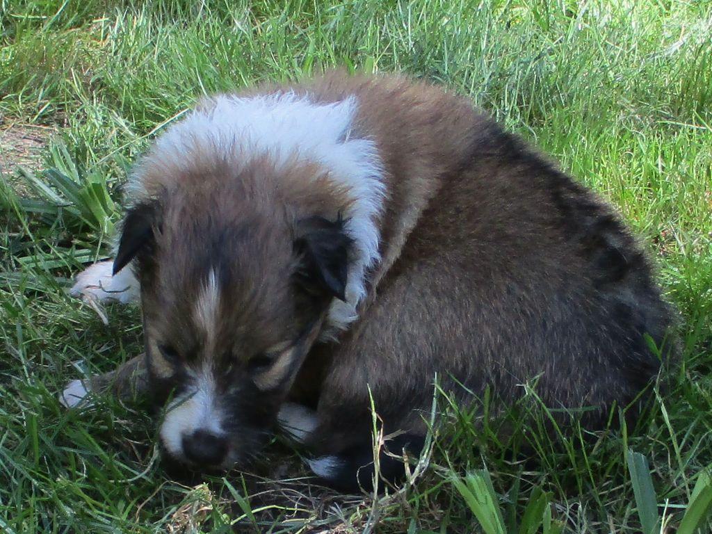OLLALA DU VAL DES DELICES DE CHIMENE - Shetland Sheepdog