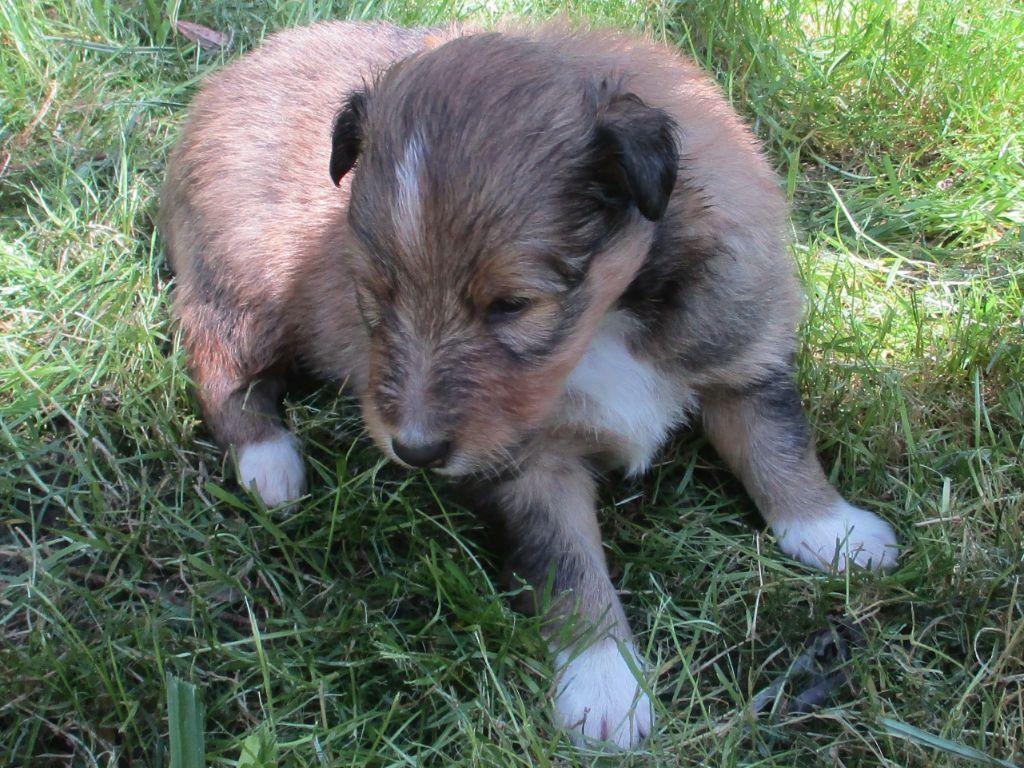 CHIOT male4 - Shetland Sheepdog