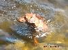- Pinschers ..... chiens nageurs !